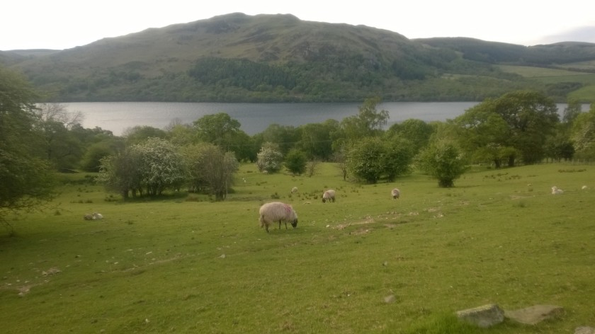 pärandlammas pärandmaastikul (mai 2014, Lake District)
